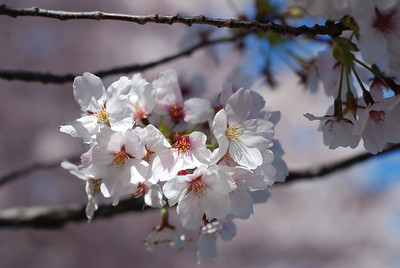 National Cherry Blossoms