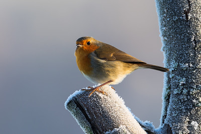 Robin In a Frosty Light
