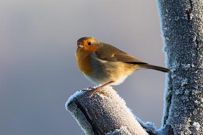Robin In a Frosty Light