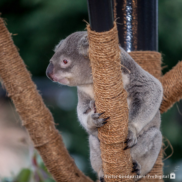 Koalafornia-9.jpg