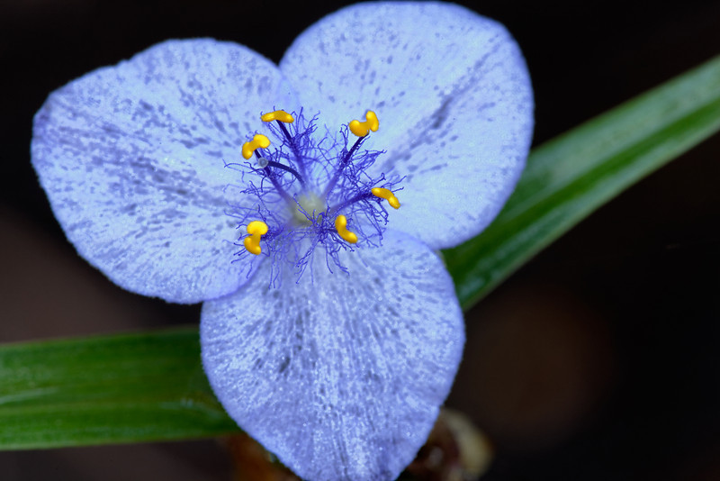 Virginia spiderwort (Tradescantia virginiana)