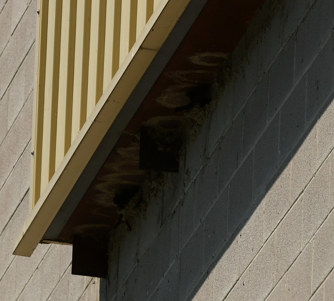 Cliff Swallows and nest on south wall of powerhouse , in Area 1 (Photo by Gerry McKenna)