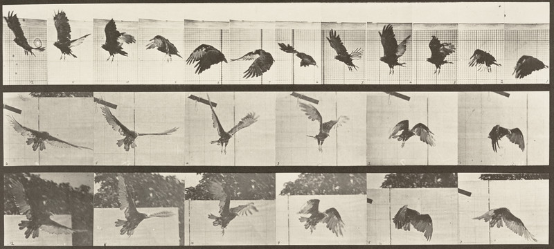 Vulture flying (Animal Locomotion, 1887, plate 767)