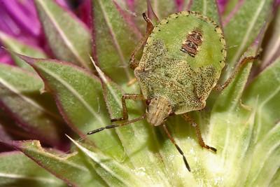 Assassins, Ambush, Stink, True Bugs, Etc. (Hemiptera)