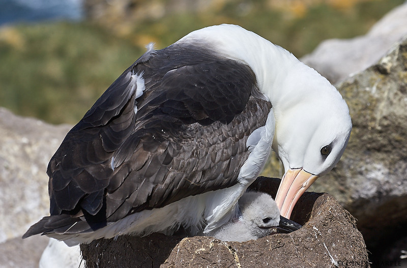 Black-browed_Albatross_13.jpg