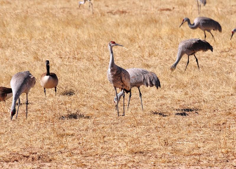 NEA_1135-7x5-Sand Hill Cranes.jpg