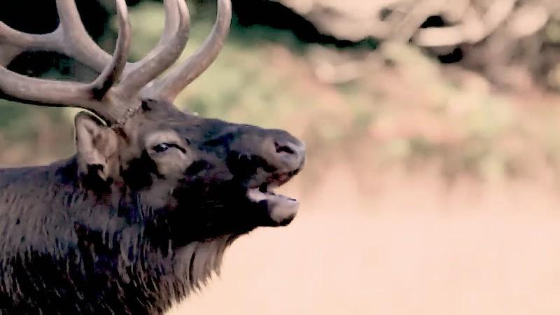 Elk behavior_mp4.MP4