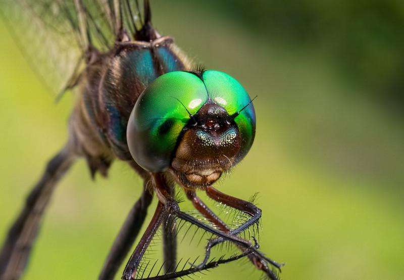 Fine-lined Emerald, male, head shot