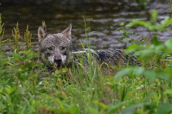 9-03-15 Wolf - Hyder Alaska