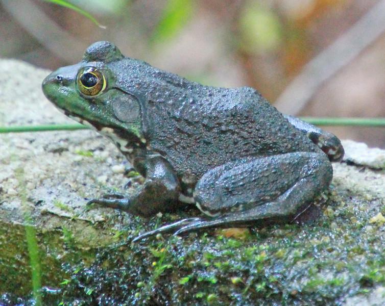 Frog 655