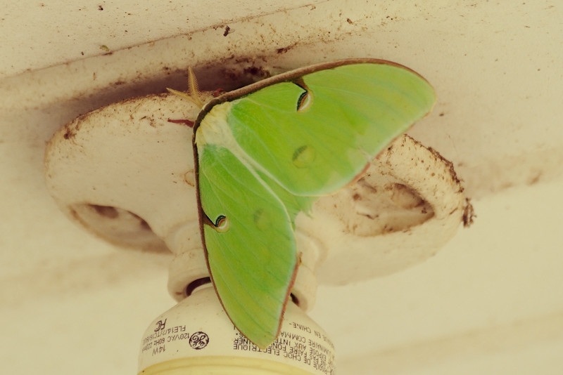 This luna moth was flitting all around the porch.
