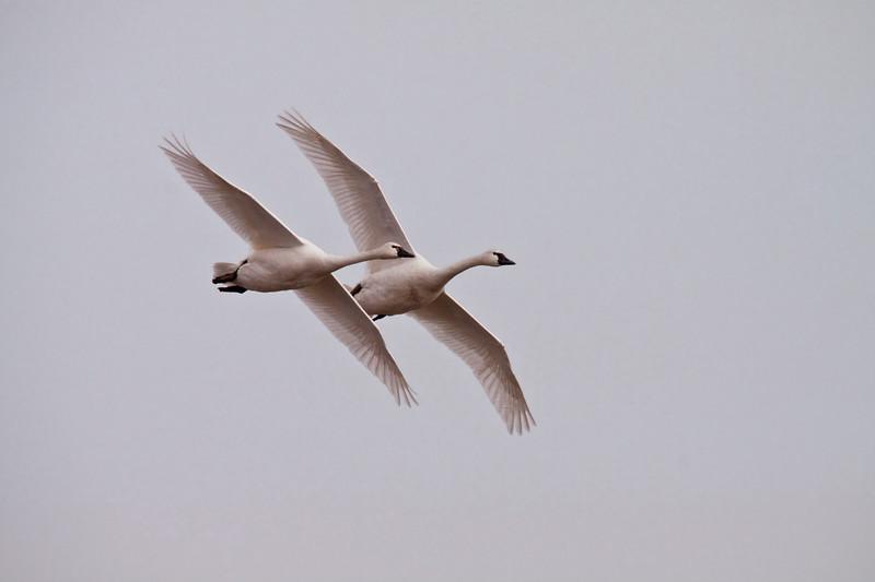 2011 swan migration aylmer (38 of 51).jpg