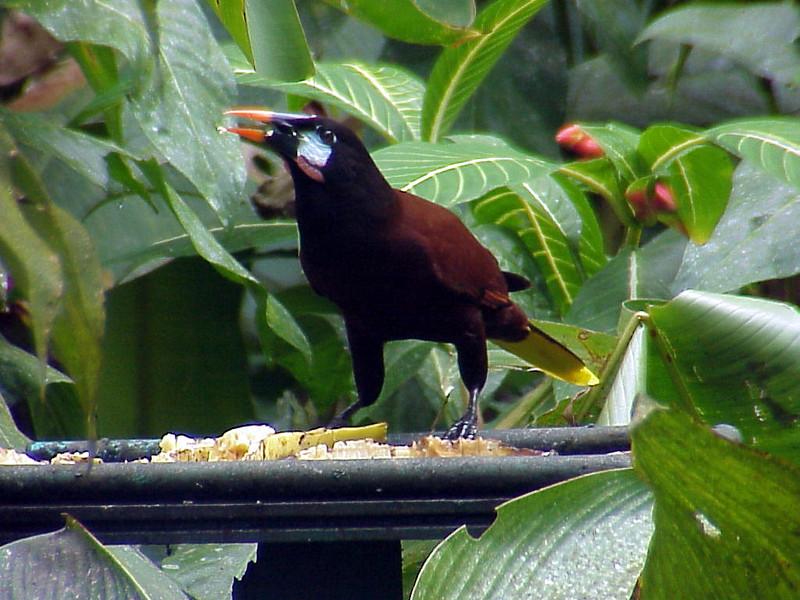 Montezuma Oropendola at Selva Verde Costa Rica 2-11-03 (50898185)