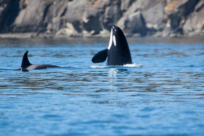 Orcas -  073115-211.jpg