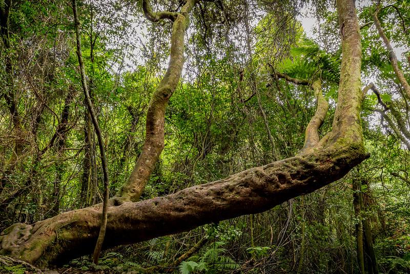Auf dem «Orongorongo Track» im «Rimutaka Forest Park»: eigenartige Formen beim Streben nach Licht