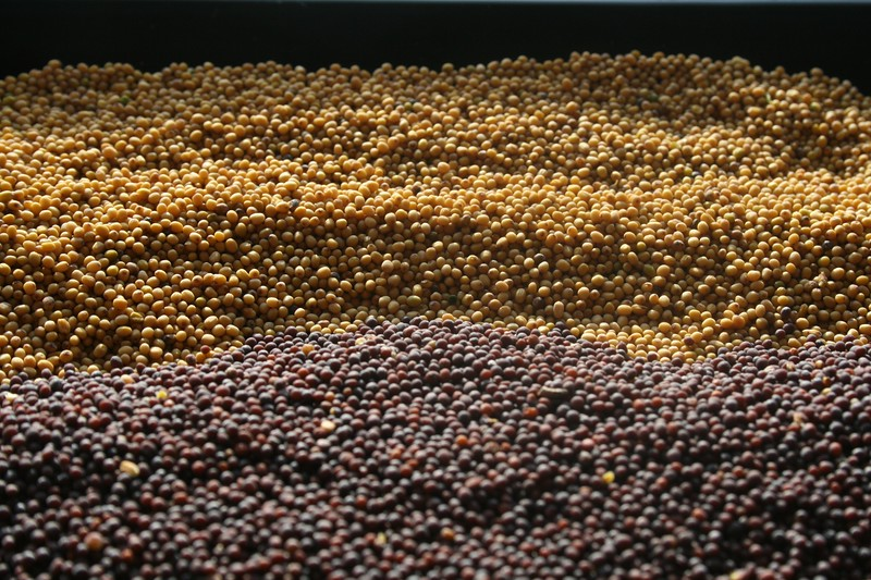Yellow and Brown mustard seeds