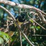 Plush-crested jay bird, Pantanal, Brazil