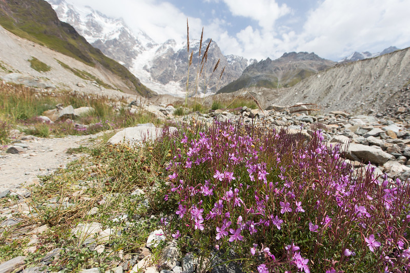 Ushguli, shkhara glacier, wilgenroosje