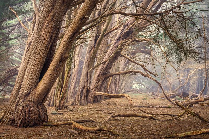 Pastel Cypress, Sea Ranch, CA