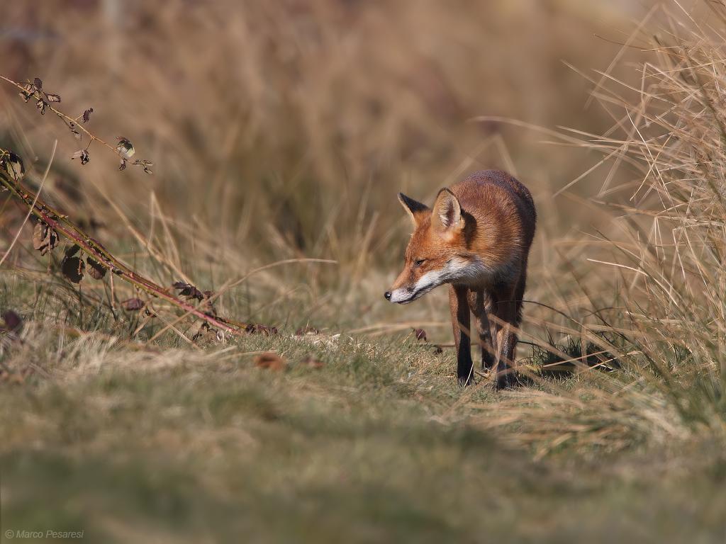 2. Red Fox