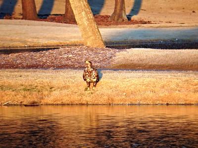 Juvenile Bald Eagle Oyster Bay Lake Feb 21 2015