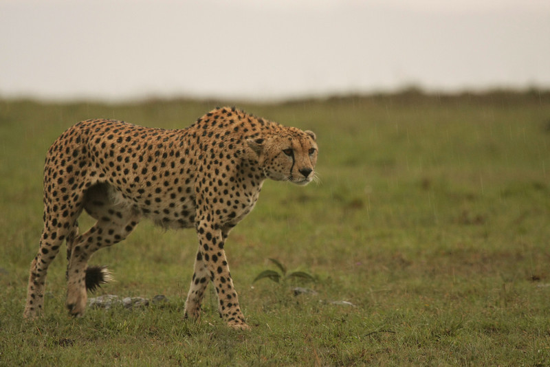 Close cheetah encounter!! This one walked across the road, right by our truck!