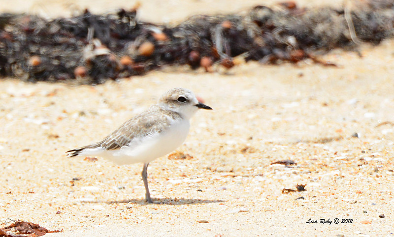 Snowy Plover (is this a female adult or a juvenile?) -  6/15/2014 - Imperial Beach River Mouth area