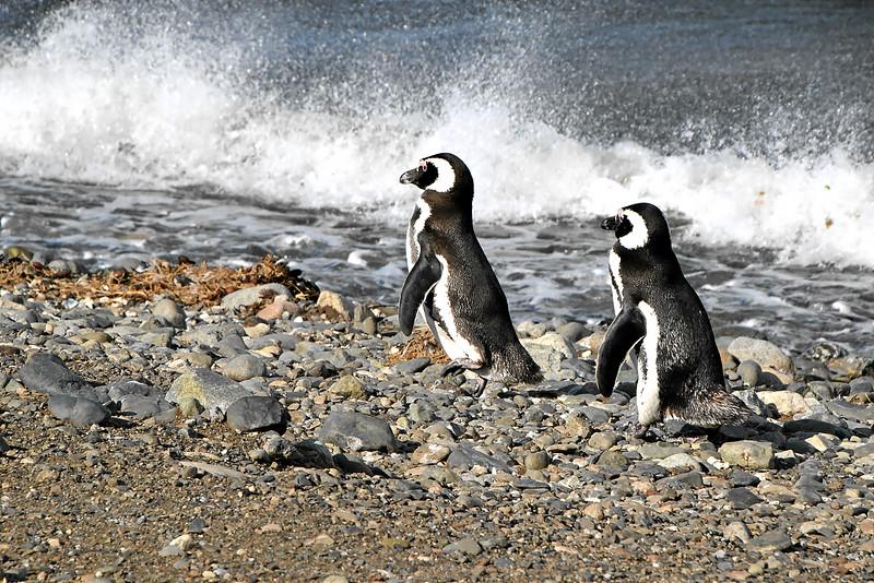 Penguin_Colony_087.jpg