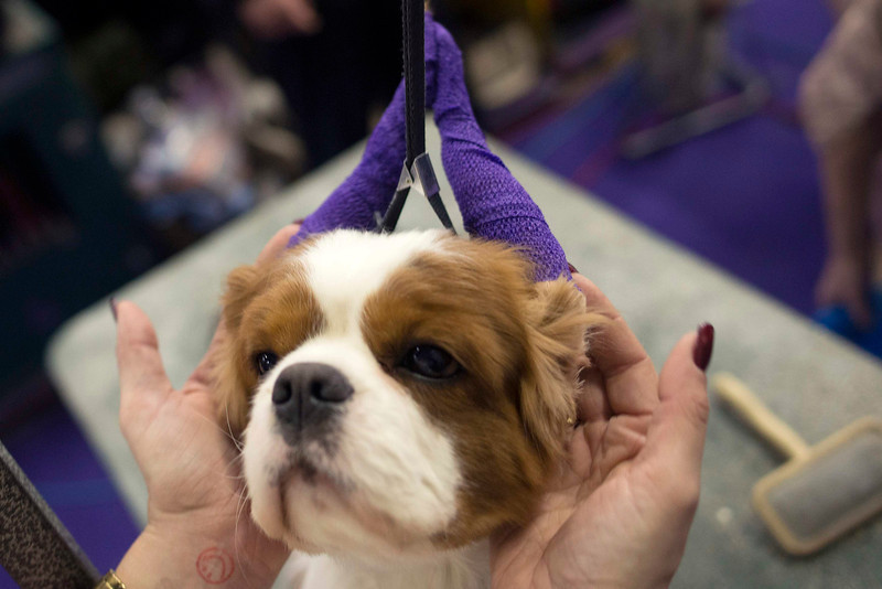 . Teddy, a 4-year-old Cavalier King Charles Spaniel, has his ears wrapped during 137th Westminster Kennel Club Dog Show in New York, February 11, 2013. More than 2,700 prized dogs will be on display at the annual canine competition. Two new breeds, the Russell terrier and the Treeing Walker coonhound, will be introduced in the contest. REUTERS/Keith Bedford