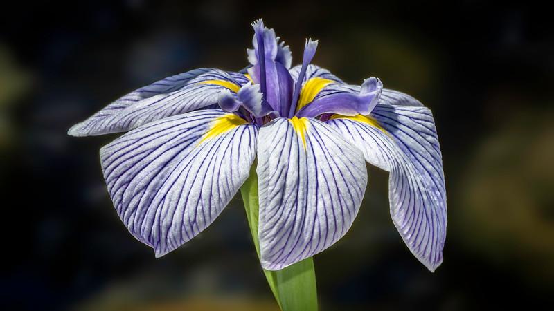 00090 Blue Iris 0010 16x9.jpg