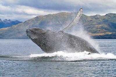 PUQ006 Humpback Whales of the Magellan Straits