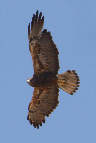 Swainson's Hawk dark morph adult (16) at Firebaugh, CA (07-18-2009-2