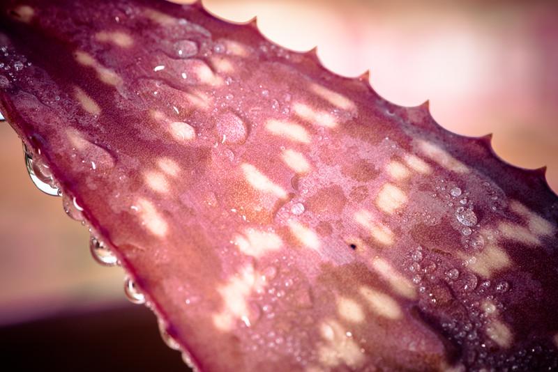 Aloe mudenensis DSC_1749.jpg