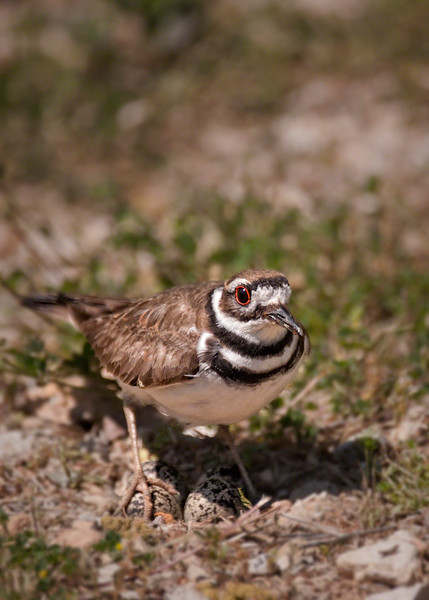 Killdeer protecting eggs in her nest.