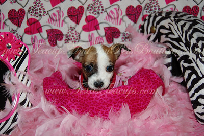 2011 Jack Russell Terrier Chihuahua Sold