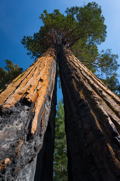 Twin sequoias in Tuolumne Grove