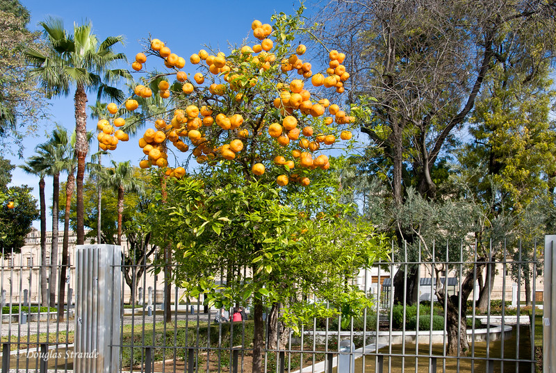 Tue 3/15 in Seville: Oranges outside the Parliament of Andalusia building