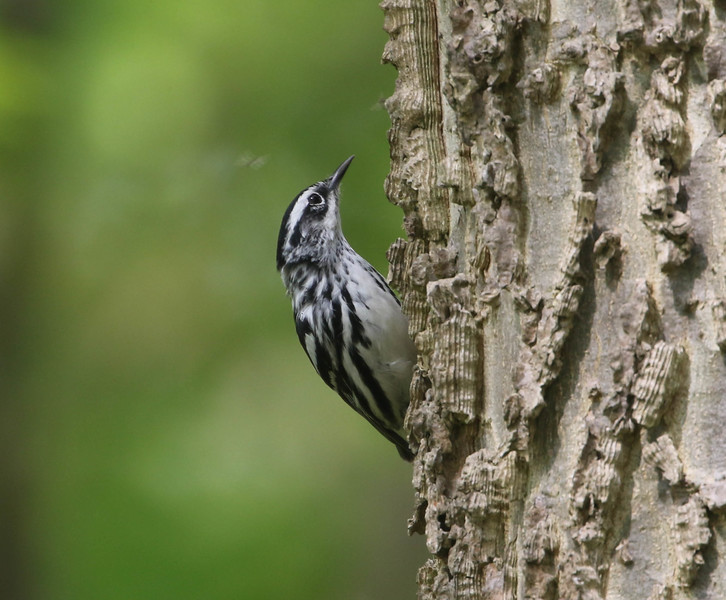 Black and White Warbler - photo by Roger Higbee