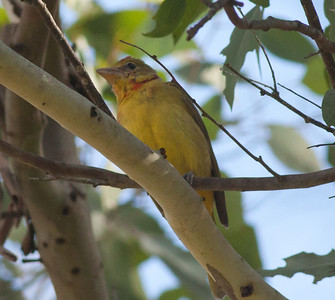 Summer Tanager Piranga rubra