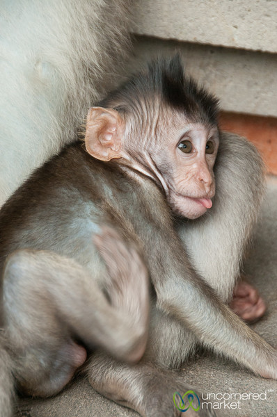 Baby Monkey with Tongue Out - Ubud, Bali