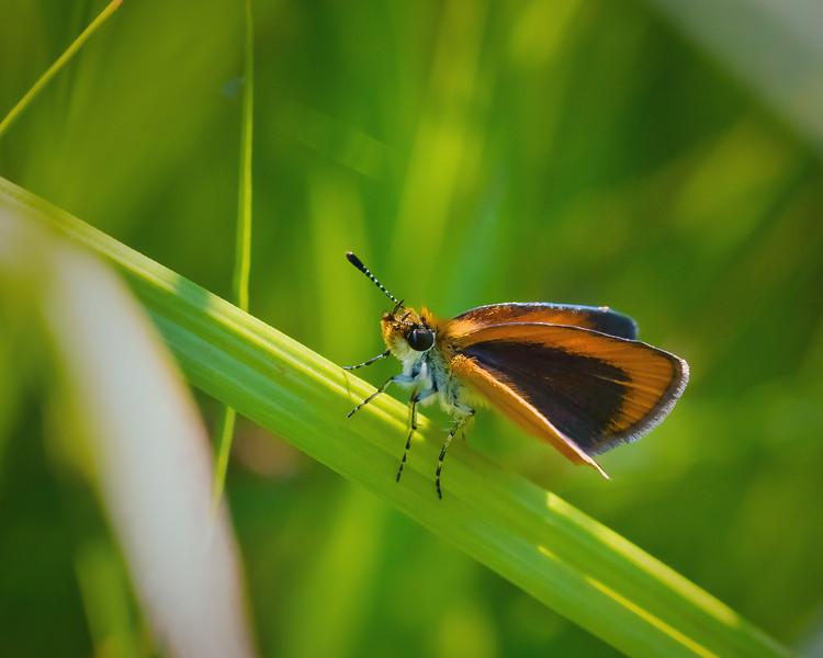 Least Skipper Butterfly in Grass