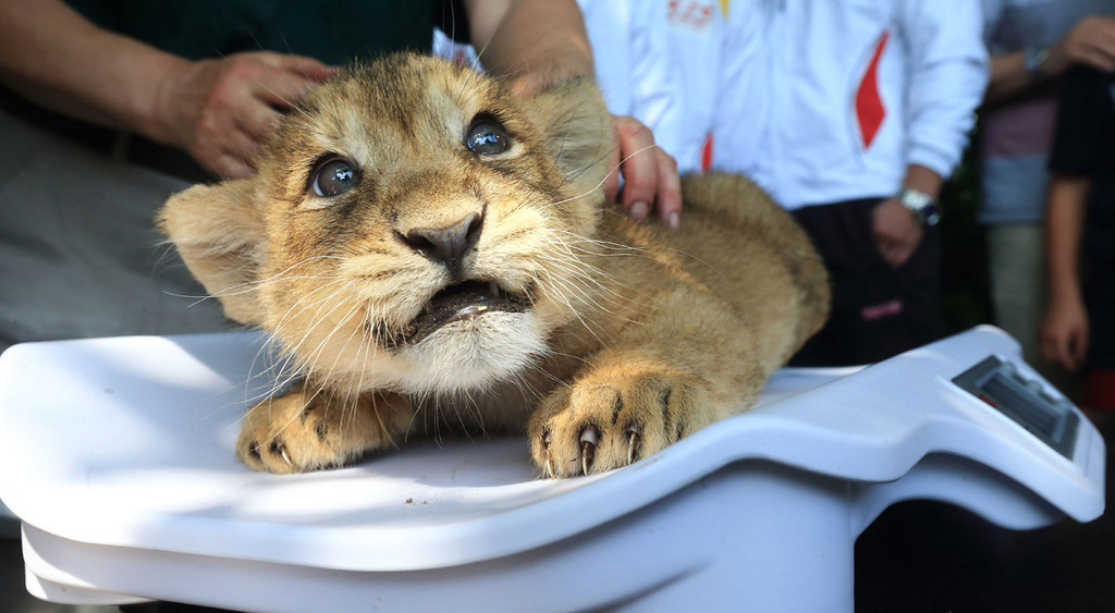 . Lion cub, 2 months old, at the zoological garden in Magdeburg, eastern Germany, on June 19, 2013.  AFP PHOTO / JENS WOLF