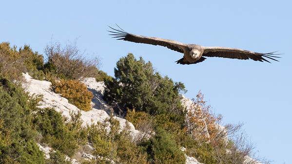 Les vautours de Rémuzat