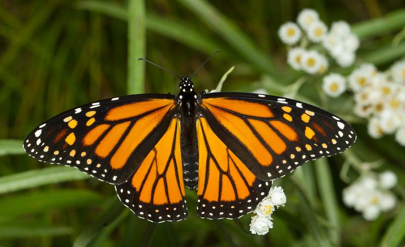 Monarch butterfly, Danaus plexippus, from Wisconsin.