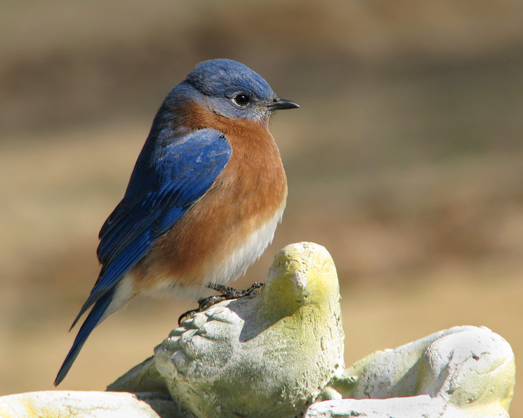 bluebird_5195.jpg