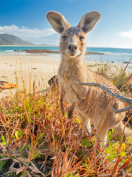 Kangaroos on beach NSW