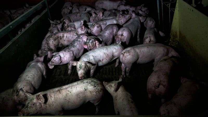 cochons-enclos-engraissement-salete-dejection.png