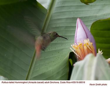 Rufous-tailed Hummingbird A88516.jpg