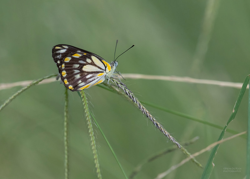 Butterfly, Dunmore, QLD, Feb 2021-.jpg
