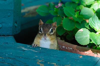 2012 06 28 Chipmunk
